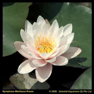 Roze waterlelie (Nymphaea Marliacea Rosea) waterlelie