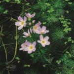 Waterviolier (Hottonia palustris) zuurstofplant