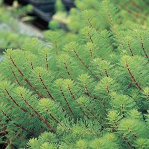 Diamantkruid (Myriophyllum aquaticum 'red stem') zuurstofplant