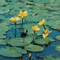 Watergentiaan (Nymphoides peltata) zuurstofplant
