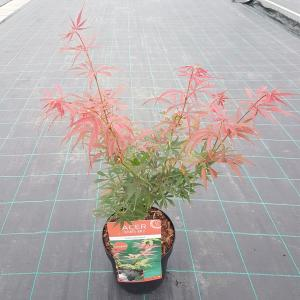 """Japanse esdoorn (Acer palmatum """"Jerre Schwartz"""") heester"""