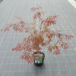 "Japanse esdoorn (Acer palmatum ""Sumi-Nagashi"") heester"