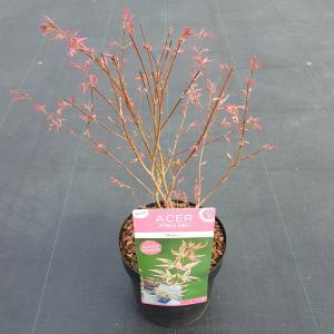 "Japanse esdoorn (Acer palmatum ""Marlo"") heester"