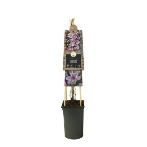 "Roze bosrank (Clematis ""Hagley Hybrid"") klimplant"
