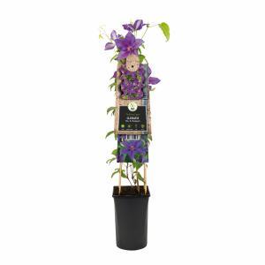 "Violet bosrank (Clematis ""Mrs. N. Thompson"") klimplant"