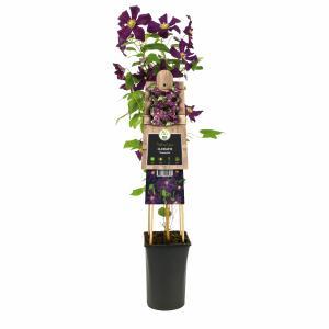 "Donkerpaarse bosrank (Clematis ""Romantika"") klimplant"
