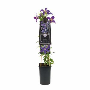 "Blauwe bosrank (Clematis ""SoMany® Blue Flowers"" PBR) klimplant"