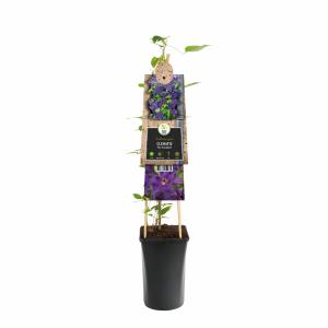 """Paarse bosrank (Clematis """"The President"""") klimplant"""