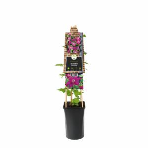 "Rode bosrank (Clematis ""Westerplatte"") klimplant"