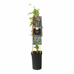 Paarse bosrank (Clematis alpina) klimplant