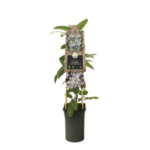 "Roze bosrank (Clematis armandii ""Apple Blossom"") klimplant"