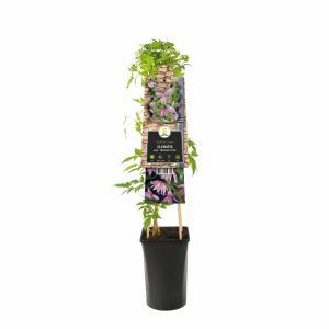 "Roze bosrank (Clematis macropetala ""Markham's Pink"") klimplant"