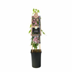 "Roze bosrank (Clematis montana ""Broughton Star"") klimplant"