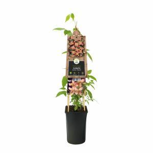 """Roze bosrank (Clematis montana """"Marjorie"""") klimplant"""