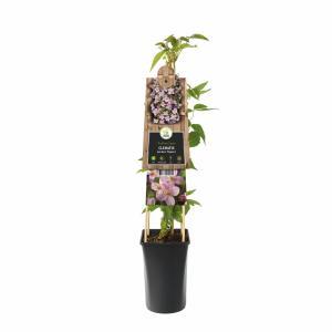 """Roze bosrank (Clematis montana """"Mayleen"""") klimplant"""