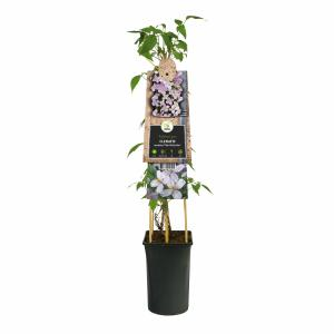 "Roze bosrank (Clematis montana ""Pink Perfection"") klimplant"
