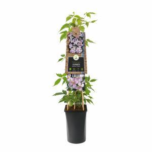 "Roze bosrank (Clematis montana ""Rubens"") klimplant"