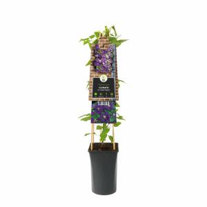 "Paarse bosrank (Clematis viticella ""Etoile Violette"") klimplant"