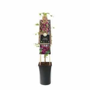 """Rode bosrank (Clematis viticella """"purpurea plena elegans"""") klimplant"""