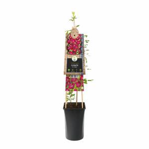 "Rode bosrank (Clematis viticella ""Rubra"") klimplant"