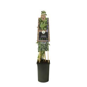 "Grootbladige kardinaalsmuts (Euonymus fortunei ""Emerald Gaiety"") klimplant"