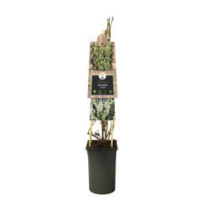 Bruidssluier (Fallopia aubertii polygonum) klimplant