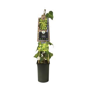 """Kaukasische klimop (Hedera colchica """"Sulphur Heart"""") klimplant"""