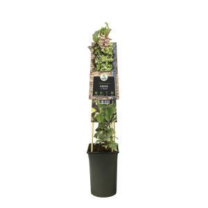"Bonte kleinbladige klimop (Hedera helix ""Glacier"") klimplant"