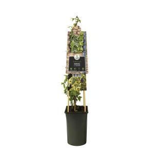 """Geelbonte klimop (Hedera helix """"Goldchild"""") klimplant"""