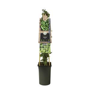 Kleinbladige klimop (Hedera helix) klimplant