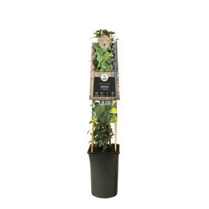 "Klimop (Hedera Helix ""Natasja"") klimplant"