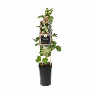 "Klimhortensia (Hydrangea anomala ""Petiolaris"") klimplant"