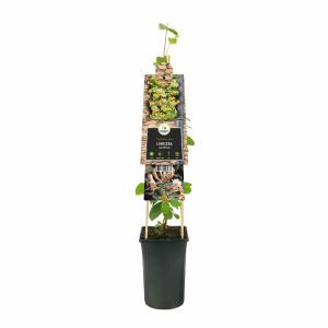 Tuinkamperfoelie (Lonicera caprifolium) klimplant