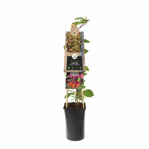 "Rood gele kamperfoelie (Lonicera heckrottii ""Goldflame"") klimplant"
