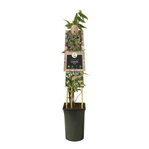 "Roze kamperfoelie (Lonicera ""Henryi"") klimplant"