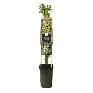 "Japanse kamperfoelie (Lonicera Japonica ""Hall's Prolific"") klimplant"