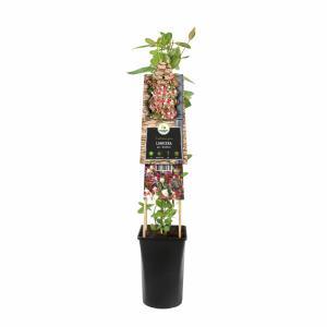 """Wilde kamperfoelie rood (Lonicera periclymenum """"Serotina"""") klimplant"""
