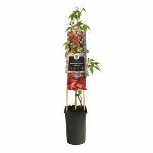 """Wilde wingerd (Parthenocissus """"Engelmannii"""") klimplant"""