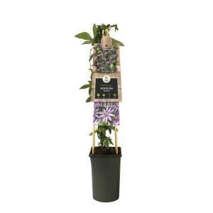 """Paarse passiebloem (Passiflora """"Amethyst"""") klimplant"""