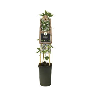 "Blauwe passiebloem (Passiflora ""Caerulea"") klimplant"