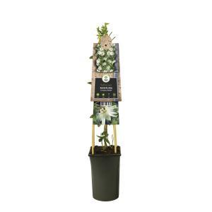 "Witte passiebloem (Passiflora caerulea ""Constance Elliot"") klimplant"