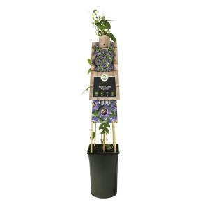 "Paarse passiebloem (Passiflora ""Purple Rain"") klimplant"