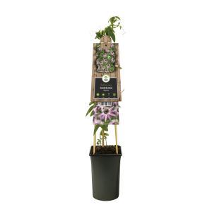 """Lila passiebloem (Passiflora """"Victoria"""") klimplant"""