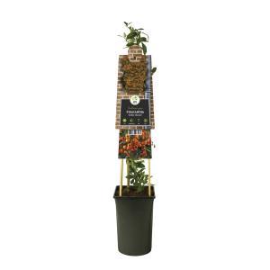 "Vuurdoorn (Pyracantha ""Golden Charmer"") klimplant"