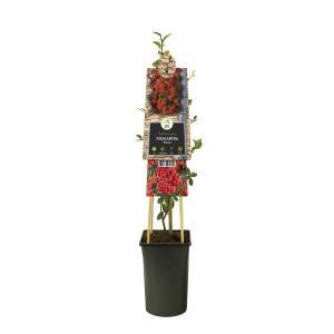 "Vuurdoorn (Pyracantha ""Mohave"") klimplant"