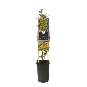 """Vuurdoorn (Pyracantha """"Soleil d'Or"""") klimplant"""