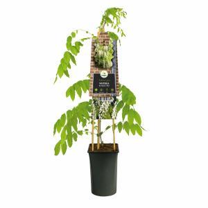 "Blauweregen wit (Wisteria Floribunda ""Alba"") klimplant"