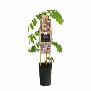 """Blauweregen roze (Wisteria Floribunda """"Rosea"""") klimplant"""