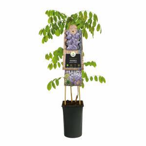 """Blauweregen (Wisteria Sinensis """"Prolific"""") klimplant"""