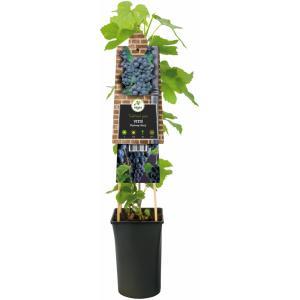 """Druif (blauw) (Vitis """"Boskoop Glory"""") klimplant"""